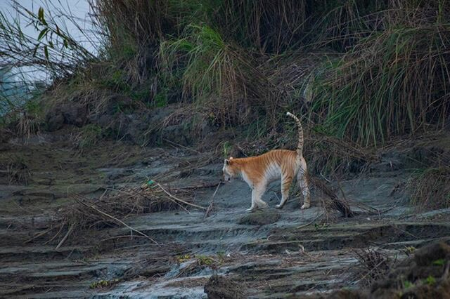 India Tv - There's only one golden tiger recorded in the wild this century and she's in Assam