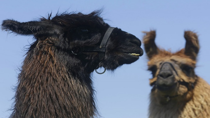 Scientists identify two antibodies from llamas that can neutralise coronavirus