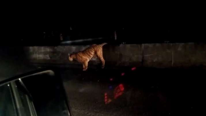 Tiger tries to cross underpass to return to jungle; sits for 2 hours after failed attempts