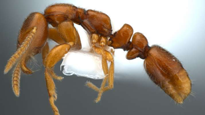 A rare group of ants Protanilla is a genus of subterranean ants in the subfamily Leptanillinae
