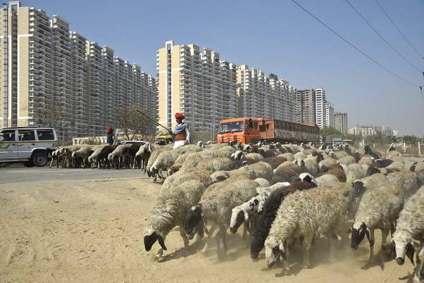 India Tv - Herd of sheep