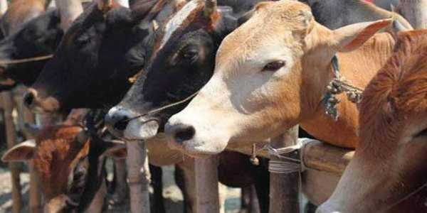 Cow is like a family member, slaughtering them is a 'sin': Karnataka minister