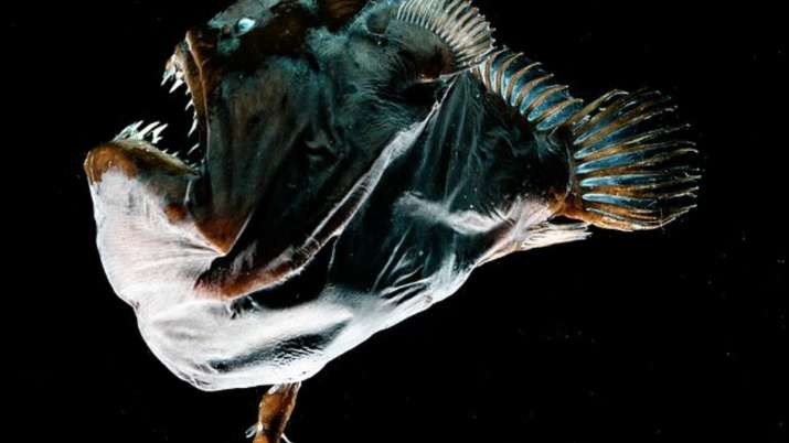 A female specimen of the deep-sea anglerfish species Melanocetus johnsonii of about 3 inches (75mm)