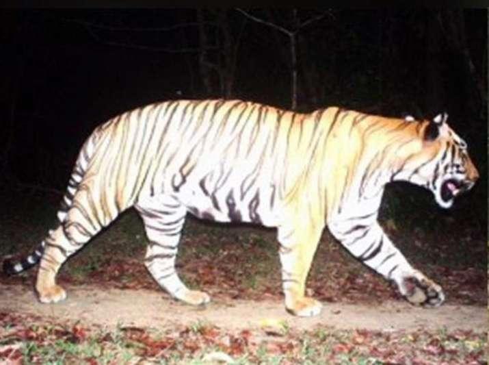 Tiger travels 300 km from Maharashtra to make new home in Karnataka