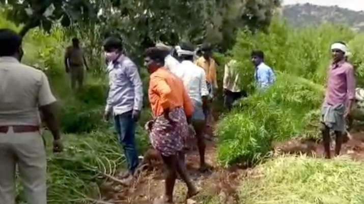 4-acre marijuana farm unearthed in Karnataka, 9,872 kg of ganja seized