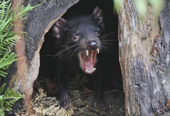 Tasmanian devils in australia