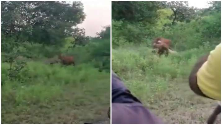 Lion hunts down cow at Gujarat's Gir