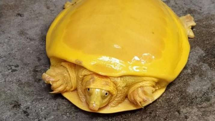 Netizens are amazed as rare yellow turtle rescued in West Bengal