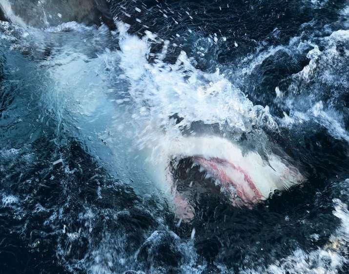 sharks slaughtered, slaughtering sharks, covid 19 vaccine, sharks, sharks vaccine, adjuvants, Squale