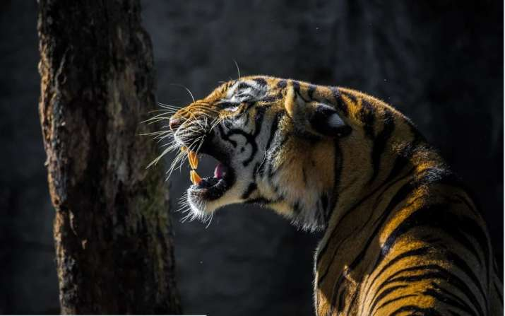No beef for tigers, feed them sambar meat instead: Assam BJP leader