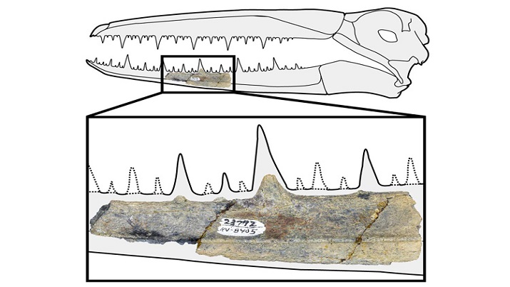 This five-inch segment of fossilized jaw, which was