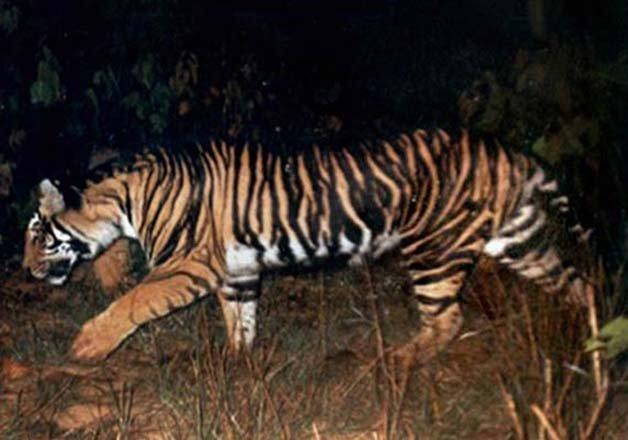 black tiger, black tiger odisha, black tiger news