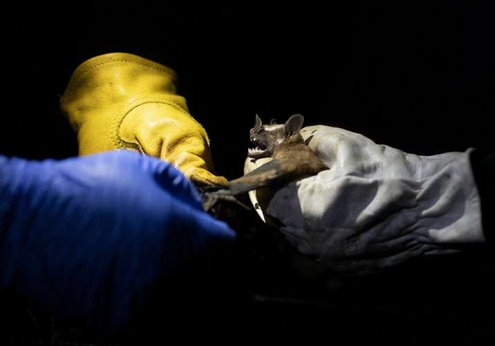 India Tv - Researchers from Brazil's state-run Fiocruz Institute shine a light on a bat they captured in the Atlantic Forest during a nighttime outing in Pedra Branca state park, near Rio de Janeiro, Tuesday, Nov. 17, 2020. The outing was part of a project to collect and study viruses present in wild animals — including bats, which many scientists believe were linked to the outbreak of COVID-19.