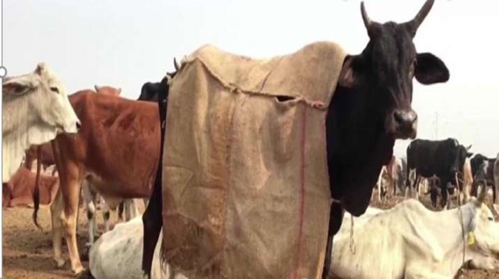 UP: Cows to get special coats to save them from the winter chill