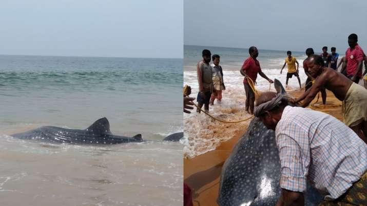 Kerala, fishermen, whale shark