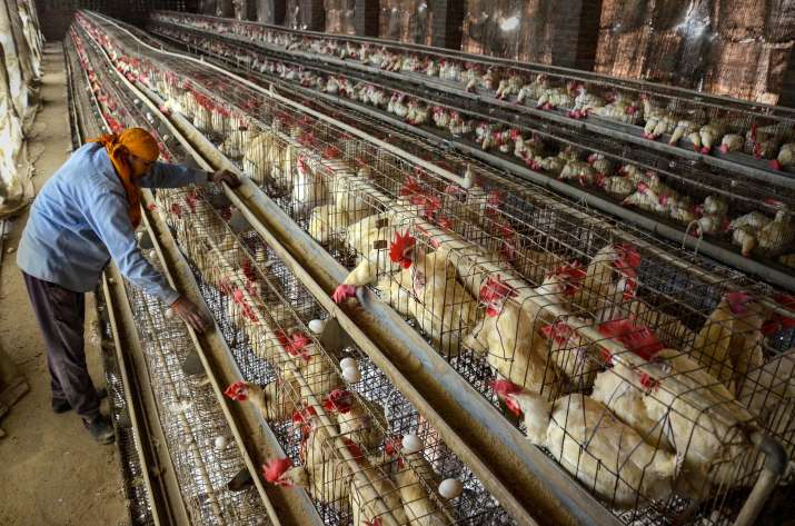 No bird flu cases in Odisha, people can consume poultry products: govt
