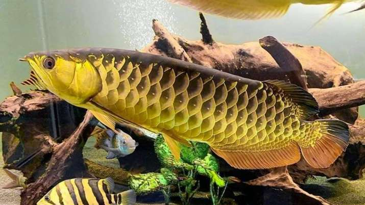 Vastu Tips: Keep this fish in northeast direction of  your house for happiness and prosperity