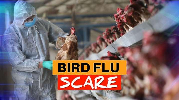 bird flu mandsaur
