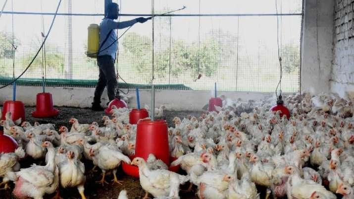 Bird flu outbreak: Civic officials to monitor meat shops in Delhi; NDMC to start helpline