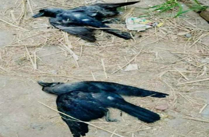 Bird Flu Scare: 4 crows found dead in Chhattisgarh village;