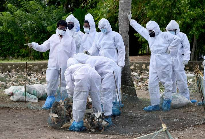 Bird flu Delhi Maharashtra dead crows chickens samples test positive avian  flu | India News – India TV