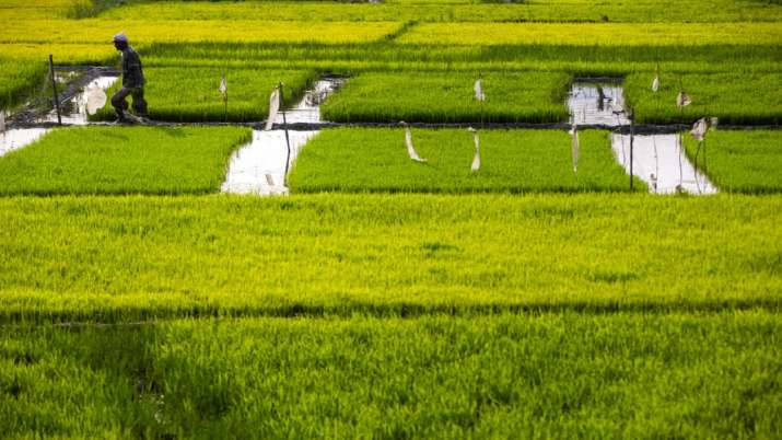 A farmer works in his paddy field on the outskirts of