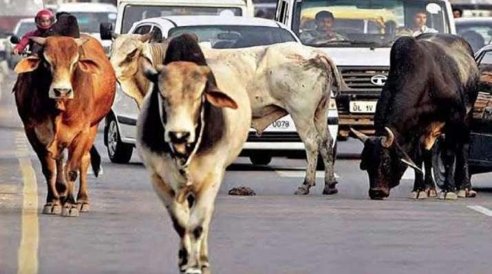 agra stray cattle menace