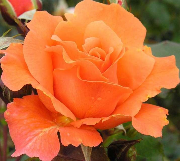 India Tv - Orange Rose