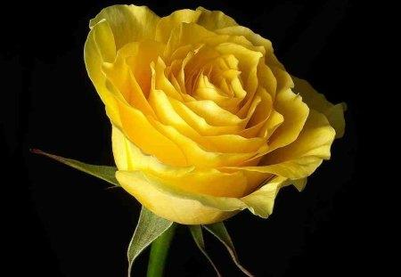 India Tv - Yellow Rose