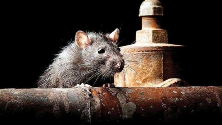 UP: Cops blame rats for disappearance of seized illicit liquor from police station