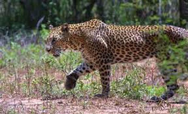 jammu leopard attack, jammu leopard attack video,jammu gandhi nagar leopard, jammu latest news