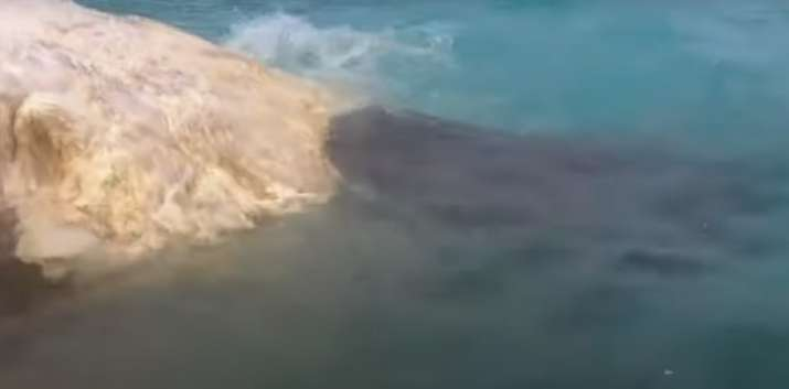 Tiger sharks eat whale carcass that drifted ashore in