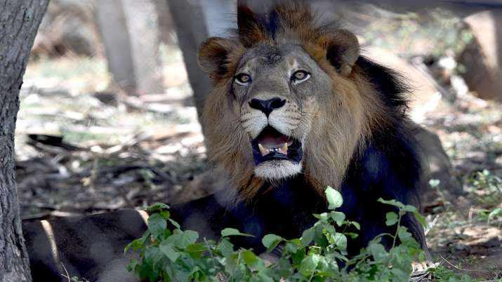 Infection, Asiatic lion, antibiotic regimen, Tamil Nadu, Chief Minister, zoo visit, coronavirus pand