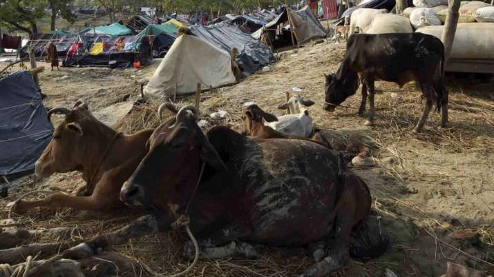 Babu and Pintu were smuggling some bovine animals to Madhya