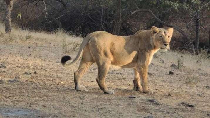 Tamil Nadu zoo, one lioness, lioness death, nine test COVID positive, Vandalur Zoo, coronavirus pand