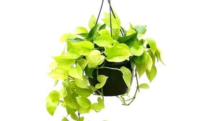 Vastu Tips: Know benefits of money plant