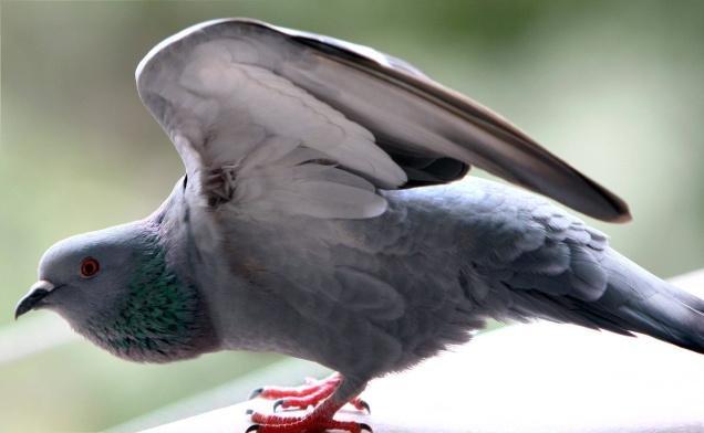 millionaire pigeons jasnagar rajasthan