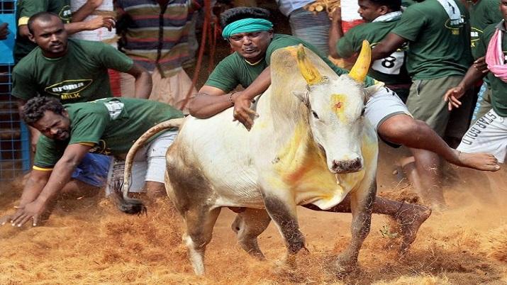 Madras High Court Order, Madras High Court Order Jallikattu, only native breed bulls, only native br