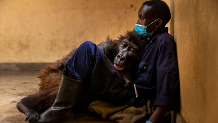 Viral sensation mountain Gorilla dies in arms of her caretaker who rescued her as baby 14 years ago