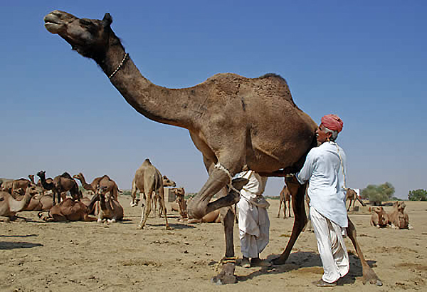gujarat to have first camel milk dairy soon
