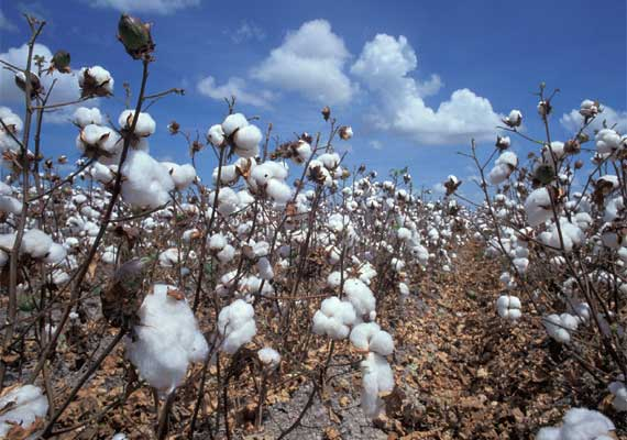 record cotton crop in gujarat this year exports may double
