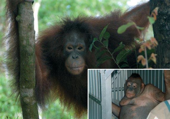 bizzare orangutan used as sex slave in indonesia