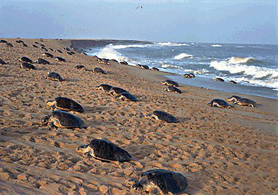 baby olive ridley turtles pop up along gahirmata beach