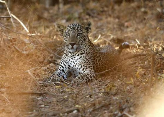 Four leopards found dead at ITC golf course in Manesar