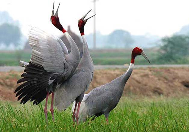 Sarus cranes missing in UP