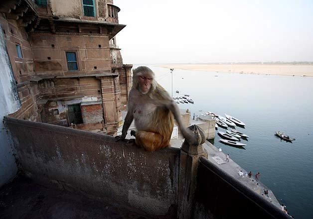 varanasi monkeys biggest hurdle in city s free wi fi plan
