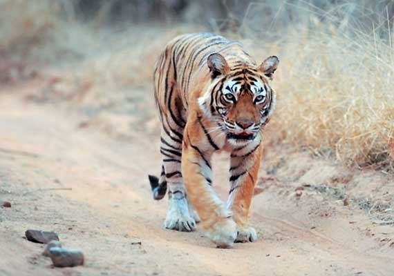 missing tigress machhli found in ranthambore