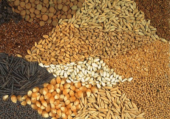 new hybrid maize seed developed for gujarat