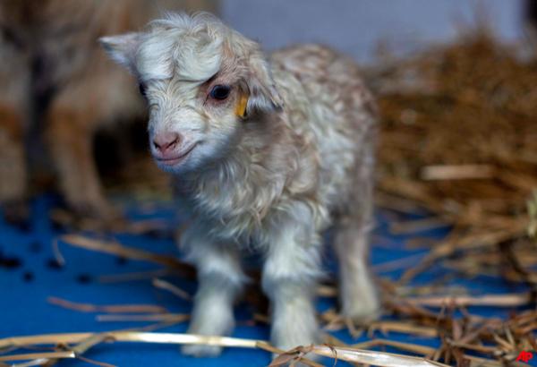 scientists clone rare pashmina goat in kashmir