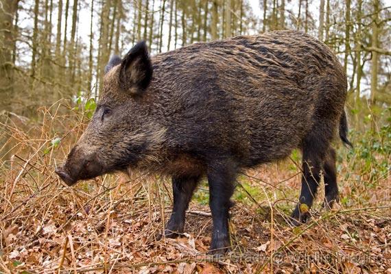 Wild boar kills man in Odisha, villagers attack forest